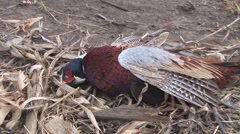 Pheasant Hunting Stock Footage