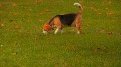 Beagle Dog Stock Footage