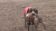 Stock Video Footage of Pheasant Hunting Dog