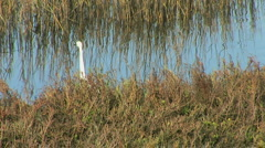 Egret Stock Footage