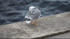 Seagull - stock footage