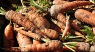 Stock Video Footage of carrots landscaping