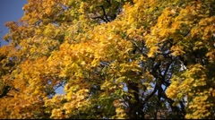autumn trees - stock footage