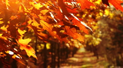 Beautiful, golden autumn. Trees on the wind. Stock Footage