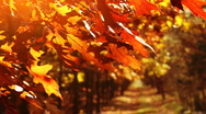Stock Video Footage of Beautiful, golden autumn. Trees on the wind.