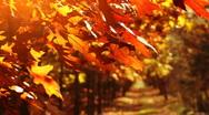 Stock Video Footage of Beautiful, golden autumn. Trees on the wind.