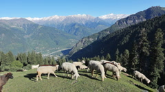 Flock of sheeps in Himalayas Stock Footage