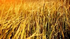Dry grass on the wind, autumn season. - stock footage