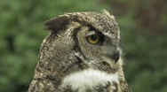 Stock Video Footage of Owl