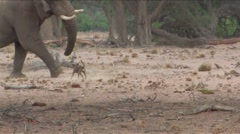 Desert Elephant & dogs in Namibia  Stock Footage
