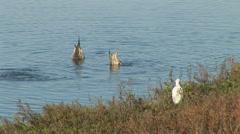 Ducks feeding Stock Footage