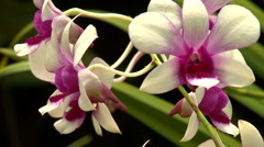 White and violet Orchid - stock footage