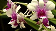Stock Video Footage of White and violet Orchid