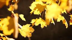 Yellow leaves on the wind, autumn season. Stock Footage