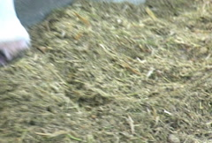 Cow Eating Silage Stock Footage