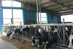 Holstein Cattle Stock Footage