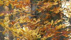 Wild cherry in the autumn. 30 Stock Footage