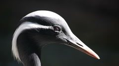 Demoiselle Crane Portrait Stock Footage