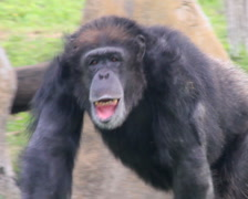 Primate Montage Stock Footage