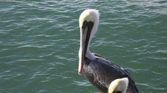 Stock Video Footage of Pelican stare #1