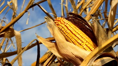 Yellow corn Stock Footage