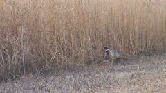 Ring-necked Pheasant Stock Footage