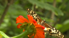 a butterfly is drinking nectar from a flower right in front of the camera - stock footage