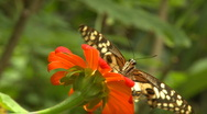 Stock Video Footage of a butterfly is drinking nectar from a flower right in front of the camera