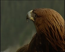 Golden eagle sitting on the arm Stock Footage