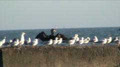Black bird and gulls - stock footage