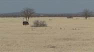 Stock Video Footage of Male & female Ostrich with chicks