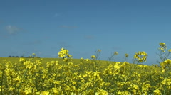 Bright yellow canola rape seed field Stock Footage