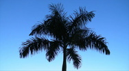 Puerto Rico - HD Dark Palm Tree with Blue Evening Sky Background Stock Footage