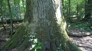Bialowieza - Very large oak tree Stock Footage