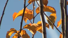 Autumn leafs with blue sky Stock Footage