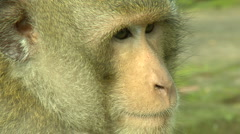 Dreamy Monkey alpha male - stock footage