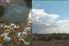 Cotton Growing Montage NTSC DV Stock Footage