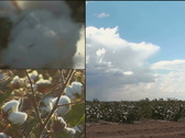 Stock Video Footage of Cotton Growing Montage NTSC DV