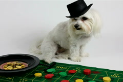 Dog Gambler Watches Roulette Wheel Spin NTSC DV Stock Footage