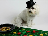 Stock Video Footage of Dog Gambling NTSC DV