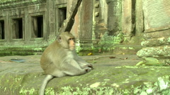Monkey Alpha male in front of Cambodian Temple - stock footage