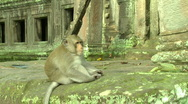 Stock Video Footage of Monkey Alpha male in front of Cambodian Temple