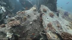 Devil scorpionfish on the Thistlegorm. Stock Footage