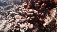 Anthias and coral Stock Footage
