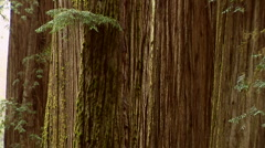 Redwood Tree Stock Footage