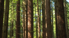 Redwood forest - stock footage