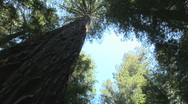 Stock Video Footage of Redwood forest