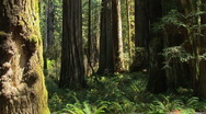 Redwood forest Stock Footage