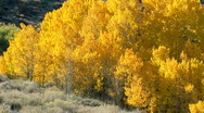 Stock Video Footage of Aspen trees