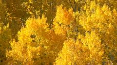 Aspen trees - stock footage